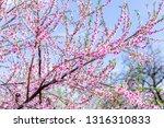 beautiful blooming peach trees... | Shutterstock . vector #1316310833