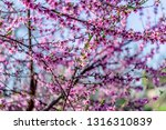 beautiful blooming peach trees... | Shutterstock . vector #1316310839
