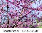 beautiful blooming peach trees... | Shutterstock . vector #1316310839