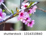 beautiful blooming peach trees... | Shutterstock . vector #1316310860