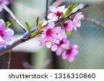 beautiful blooming peach trees... | Shutterstock . vector #1316310860