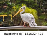 great white pelican also known... | Shutterstock . vector #1316324426