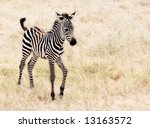Stock photo an adorable baby zebra walking 13163572