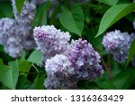 a branch of lilac blossoms.... | Shutterstock . vector #1316363429