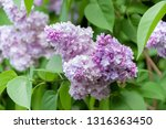 blooming lilac branch in... | Shutterstock . vector #1316363450