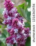 blooming lilac branch in... | Shutterstock . vector #1316363456