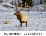 Mature male elk with antlers walking in snow at Blacktail Deer Plateau Yellowstone National Park