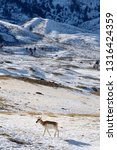 Lone Pronghorn Antelope In...