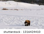 Snow covered face of Lone Bison pausing from clearing snow to graze at Soda Butte Creek in Yellowstone Wyoming
