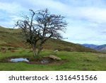 solitary tree with no leaves in ... | Shutterstock . vector #1316451566