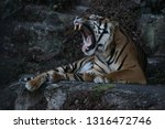 bengal tiger roaring showing... | Shutterstock . vector #1316472746
