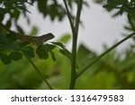 The Oriental Garden Lizard On...
