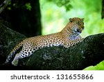 photos of africa  leopard in... | Shutterstock . vector #131655866