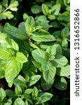 close up of fresh green herb... | Shutterstock . vector #1316652866