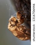 a cicada shell  backlit by... | Shutterstock . vector #1316706446