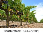 grapes in a vineyard  la rioja  ... | Shutterstock . vector #131670704