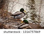 Two Ducks On A Riverbank
