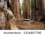 hiker in sequoia national park... | Shutterstock . vector #1316807780