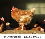 a hen standing on one leg   Shutterstock . vector #1316859173
