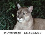 Eastern Cougar (Puma Concolor Couguar). This photograph was taken in 1986, prior to when they were officially declared extinct in 2018.