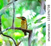 Small photo of A beautiful Kingfisher, female Rufous-collared Kingfisher (Actenoides concretus), standing on a branch, breast profile, shown a white spotted on the back