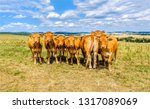 Stock photo cow herd on pasture farm cows in field cows on pasture cow herd in line portrait 1317089069