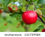 Red Apple Growing On Tree....