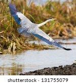 sandhill crane flying above wetlands.Republic of Kenya.