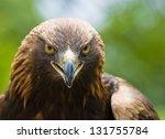 Portrait Of A Golden Eagle ...