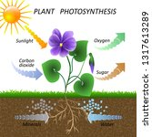 vector diagram of plant... | Shutterstock . vector #1317613289