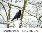 Crow Standing  On The Leafless...
