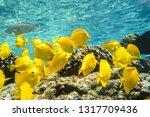 Yellow Tangs  Underwater...