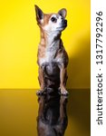 teacup chihuahua yellow... | Shutterstock . vector #1317792296