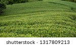 terraced fields filled with... | Shutterstock . vector #1317809213