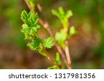 currant branch with blooming... | Shutterstock . vector #1317981356