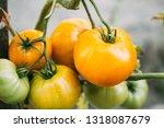 yellow growing organic tomato.... | Shutterstock . vector #1318087679