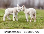 Stock photo agnello sheep 131810729