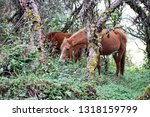 horse in a polylepis forest at... | Shutterstock . vector #1318159799