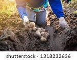 farmer harvesting potatoes in... | Shutterstock . vector #1318232636