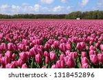 field with purple tulips near... | Shutterstock . vector #1318452896