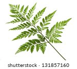 close up foot fern isolated on... | Shutterstock . vector #131857160