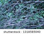 brambles intertwining close up   Shutterstock . vector #1318585040