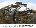 pascagoula swamp cypress trees