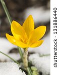 Yellow Crocus And White Snow