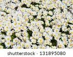 White Daisies Flower Spring...