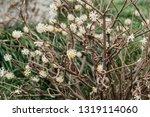 Oriental paper bush flower ...