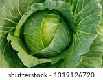 Close Up Of Fresh Cabbage...
