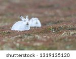 Stock photo white mountain hare sitting on snow in the cairngorms of scotland wild mountain hares are native 1319135120