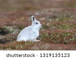 Stock photo white mountain hare sitting on snow in the cairngorms of scotland wild mountain hares are native 1319135123