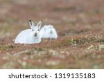 Stock photo white mountain hare sitting on snow in the cairngorms of scotland wild mountain hares are native 1319135183